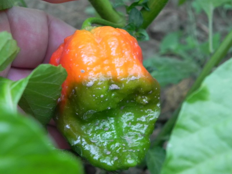 Bhut Jolokia Improved Strain 2