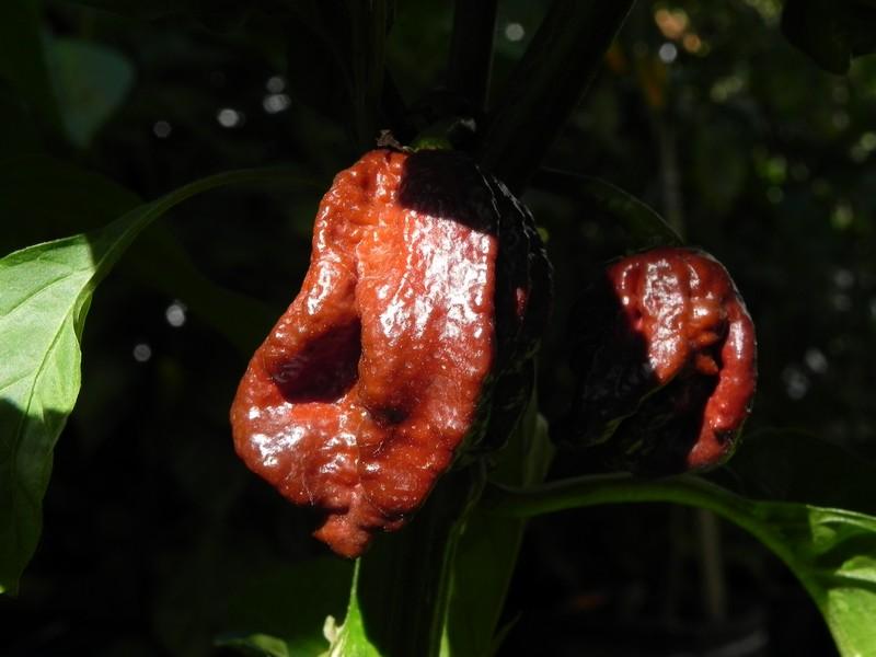 Trinidad Douglah-plod