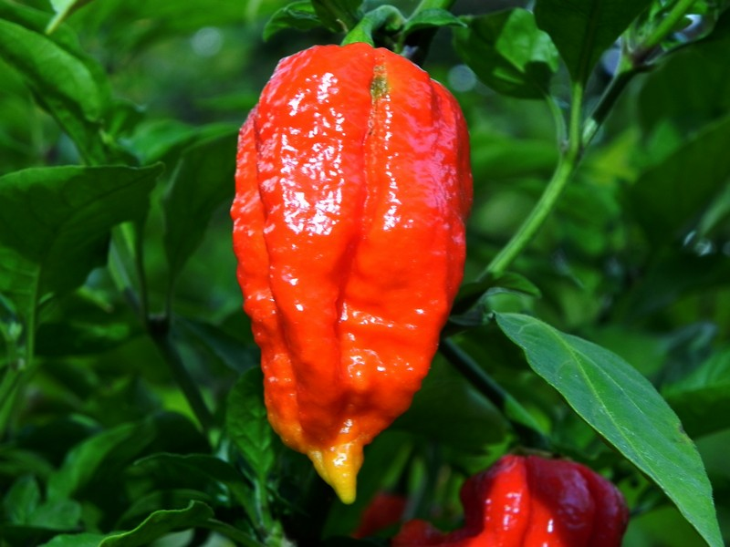 Bhut Jolokia Improve Strain 2