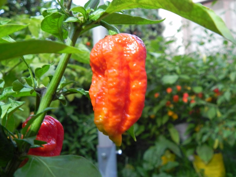 Bhut Jolikia Improve Strain 2