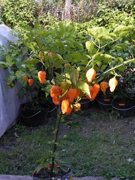 Habanero Naranja Picante
