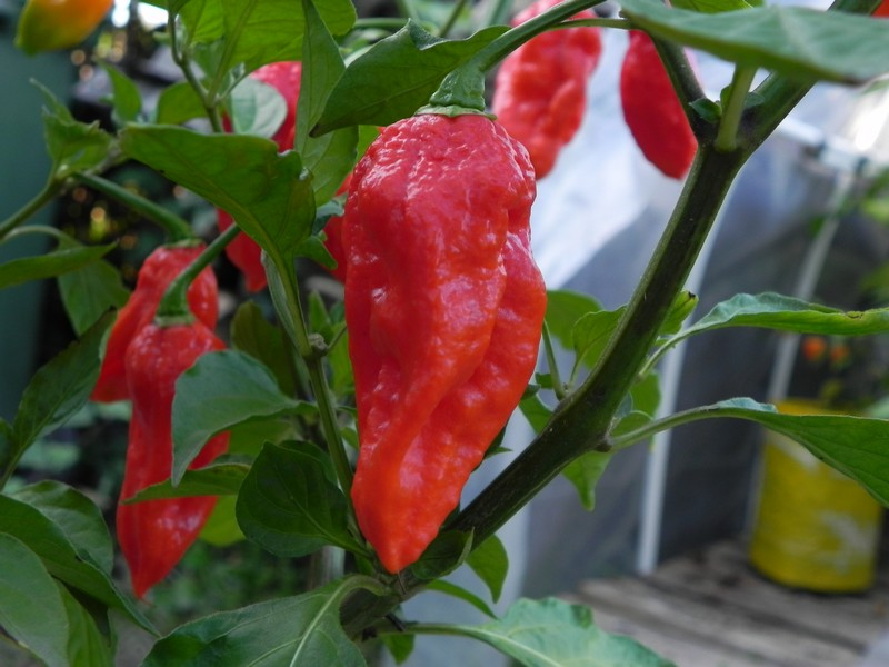 Bhut Jolikia Improve Strain 1
