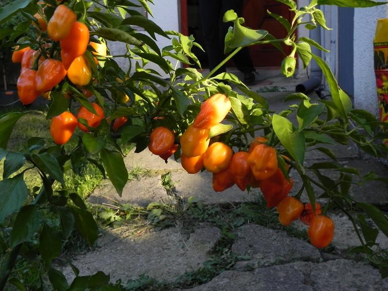 Craig Duble Hot Orange