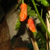 Bhut Jolokia Red