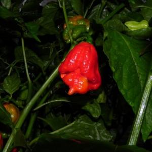 Trinidad Scorpion Butch T