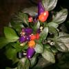 Aurora pepper