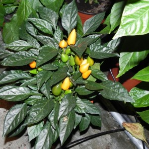 Ukrasna Narandžasta