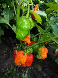 Red Bhutlah SLP