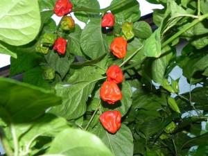 7 Pot Chaguanas