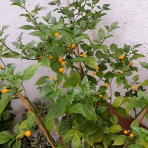 Wild Brazil Pepper