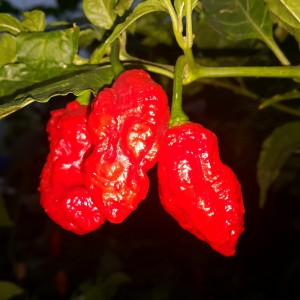 Jays Red Ghost Scorpion