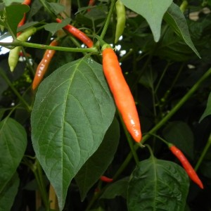 Piri Piri pepper