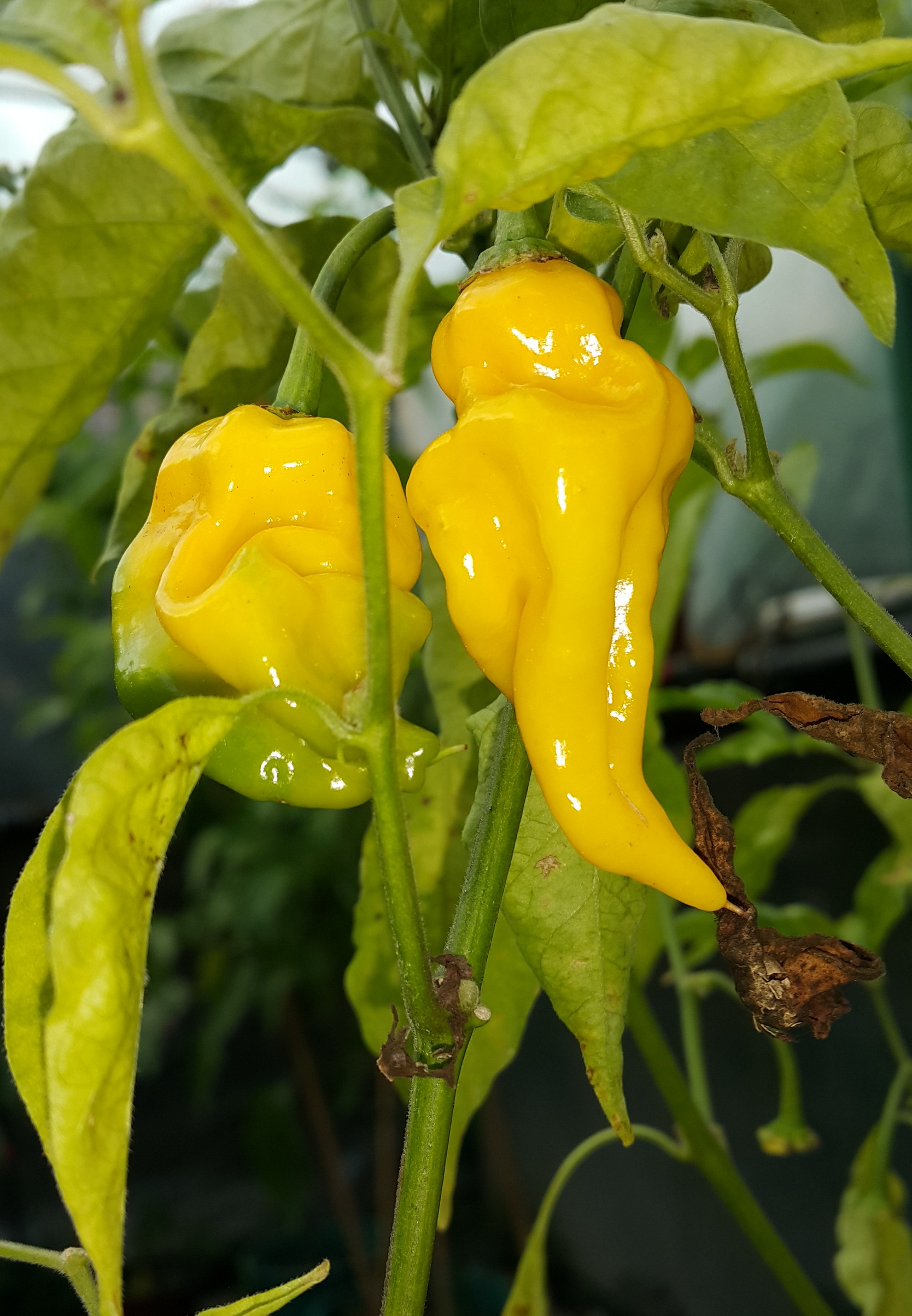 Habanero Hot Lemon