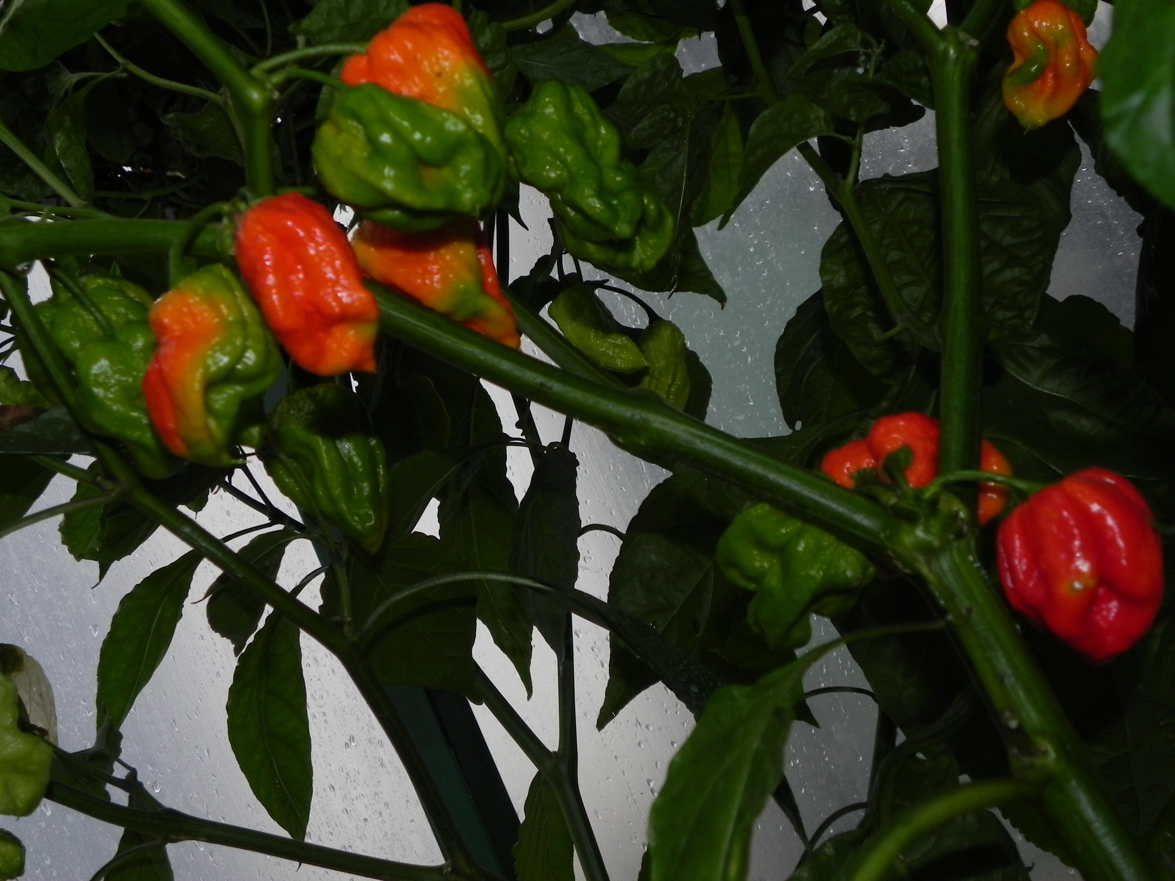 7 Pot Congo Surinam Gigantic