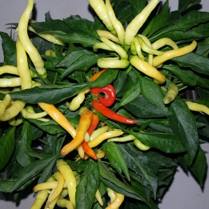 Medusa Pepper