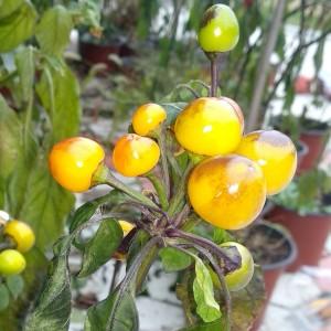 Costa Rica Orange
