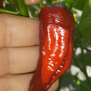 Fatalii Chocolate