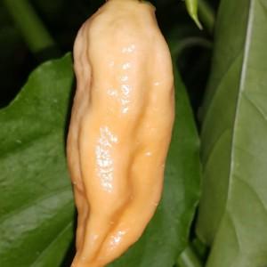 Jay's Peach Ghost Scorpion