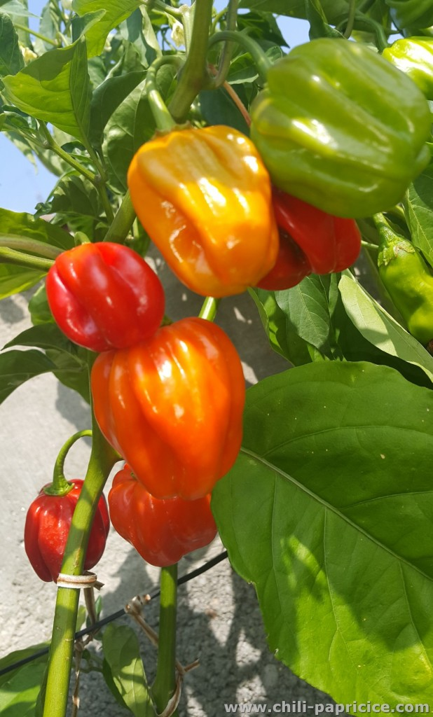 Habanero Hawaii Beach
